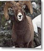 Bighorn Sheep, Maligne Canyon, Jasper Metal Print