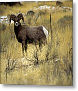 Bighorn Sheep (ovis Canadensis) Metal Print by Altrendo Nature