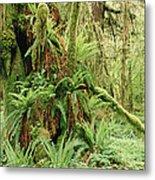 Bigleaf Maple Acer Macrophyllum Trees Metal Print