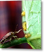 Biocontrol Of Bean Beetle Metal Print