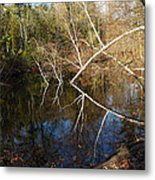 Birch Eye Metal Print