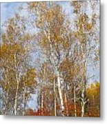 Birch Grove 4269 Metal Print