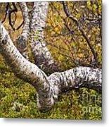 Birch Trees In Autumn Foliage Metal Print