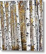 Birch Trees No.0644 Metal Print