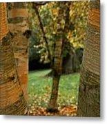 Birches In Autumn Metal Print