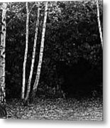 Birches In Black And White Metal Print