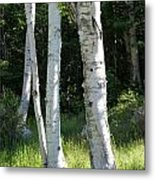 Birches On A Meadow Metal Print