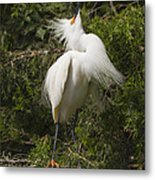 Bird Mating Display - Snowy Egret  Metal Print