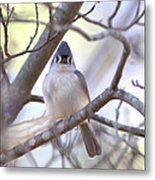 Bird - Tufted Titmouse - Busted Metal Print