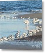 Birds And One Lone Seagull. Metal Print