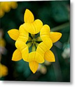 Bird's Foot Trefoil Metal Print