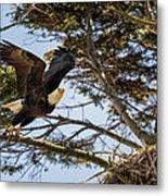 Birds Of Bc - No.27 - Bald Eagle - Haliaeetus Leucocephalus Metal Print