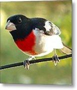 Birds Rose Breasted Grosbeak Metal Print