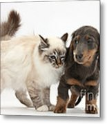 Birman Cat And Dachshund Puppy Metal Print