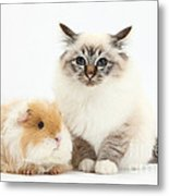 Birman Cat And Frizzy Guinea Pig Metal Print