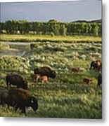 Bison Graze On Grasslands In The Park Metal Print