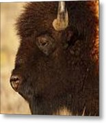 Bison In Profile Metal Print