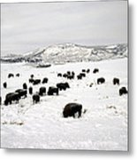 Bison Paw Away Snow With Head Metal Print