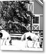 Black And White Clydesdale Grazing Metal Print