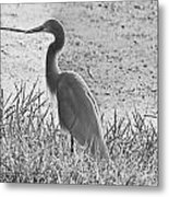 Black And White Egret  Metal Print