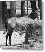 Black And White Hay Horse Metal Print