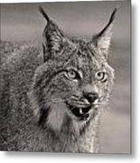 Black And White Lynx Metal Print