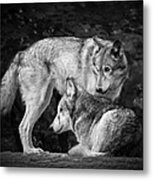 Black And White Wolves Metal Print