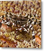 Black And White Zebra Crab On Fire Metal Print