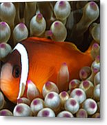 Black Anemonefish, Fiji Metal Print