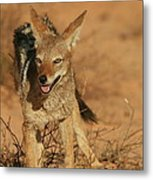 Black-backed Jackal Metal Print