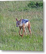 Black Backed Jackal Metal Print