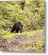 Black Bear 1899 Metal Print