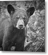 Black Bear Cub In A Pine Tree Metal Print