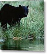 Black Bear Ursus Americanus Metal Print
