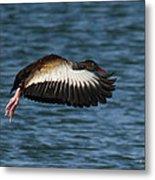 Black-belled Whistling-duck In Flight Metal Print