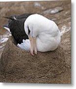 Black-browed Albatross Nesting Metal Print by Charlotte Main