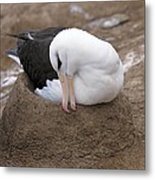 Black-browed Albatross Nesting Metal Print