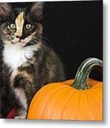 Black Calico Kitten With Pumpkin Metal Print
