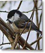Black Capped Chick Metal Print