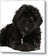 Black Cockerpoo Puppy Metal Print