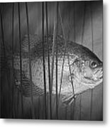 Black Crappie Or Speckled Bass Among The Reeds Metal Print