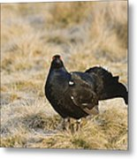 Black Grouse Displaying On A Lek Metal Print