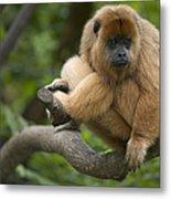 Black Howler Monkey Alouatta Caraya Metal Print