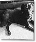 Black Labrador Retriever  Metal Print