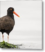 Black Oystercatcher  Martin Luther King Metal Print by Sebastian Kennerknecht