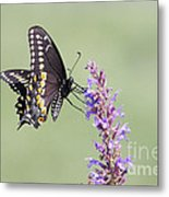 Black Swallowtail Butterfly Feeding Metal Print