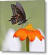 Black Swallowtail Butterfly Metal Print
