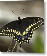 Black Swallowtail Din103 Metal Print