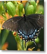 Black Swallowtail Metal Print