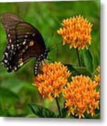 Black Swallowtail Visiting Butterfly Weed Din012 Metal Print